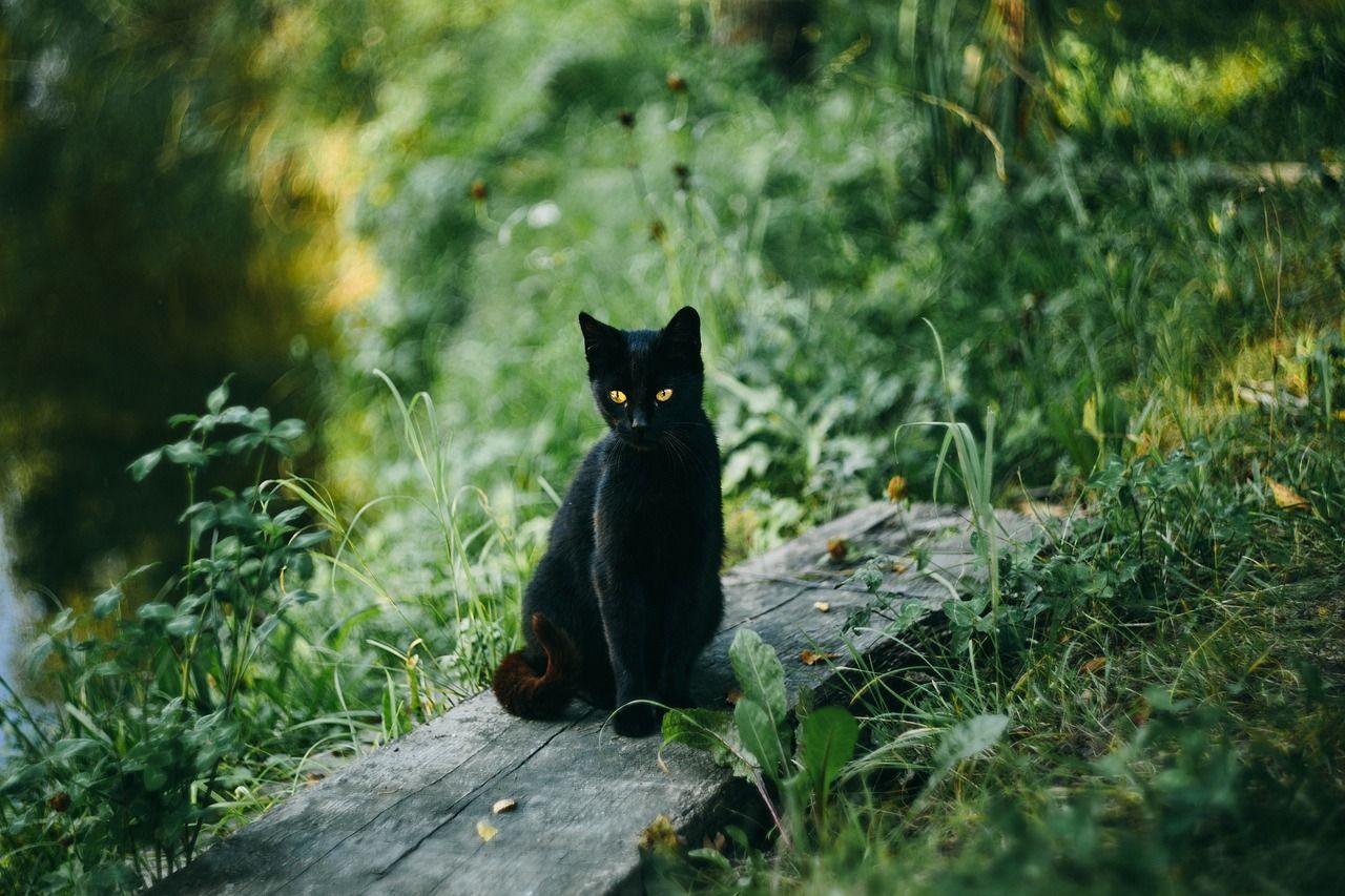 Hình ảnh mèo đen trong rừng