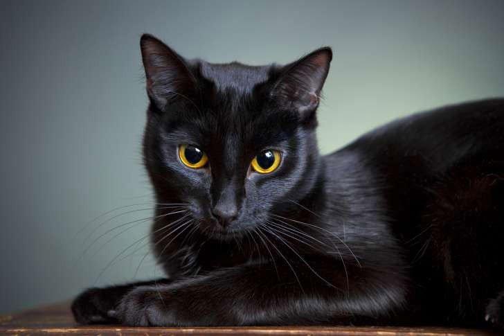 Hình ảnh mèo đen tuyền
