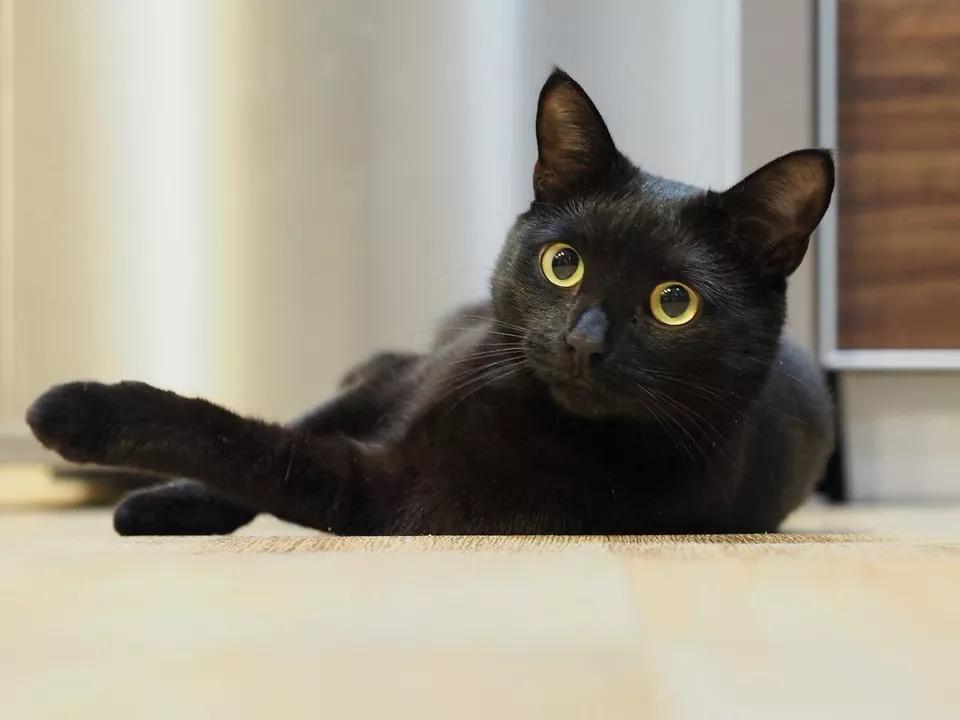 Hình ảnh mèo đen