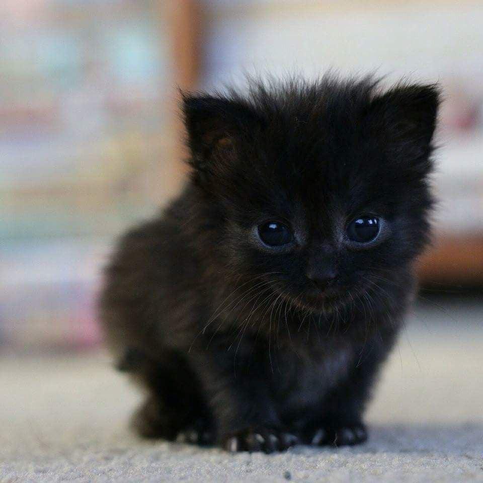Hình ảnh mèo mắt đen