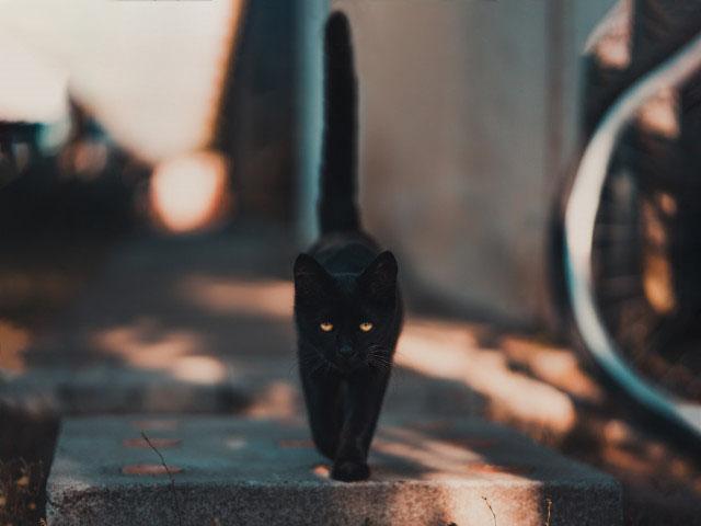Hình ảnh mèo màu đen