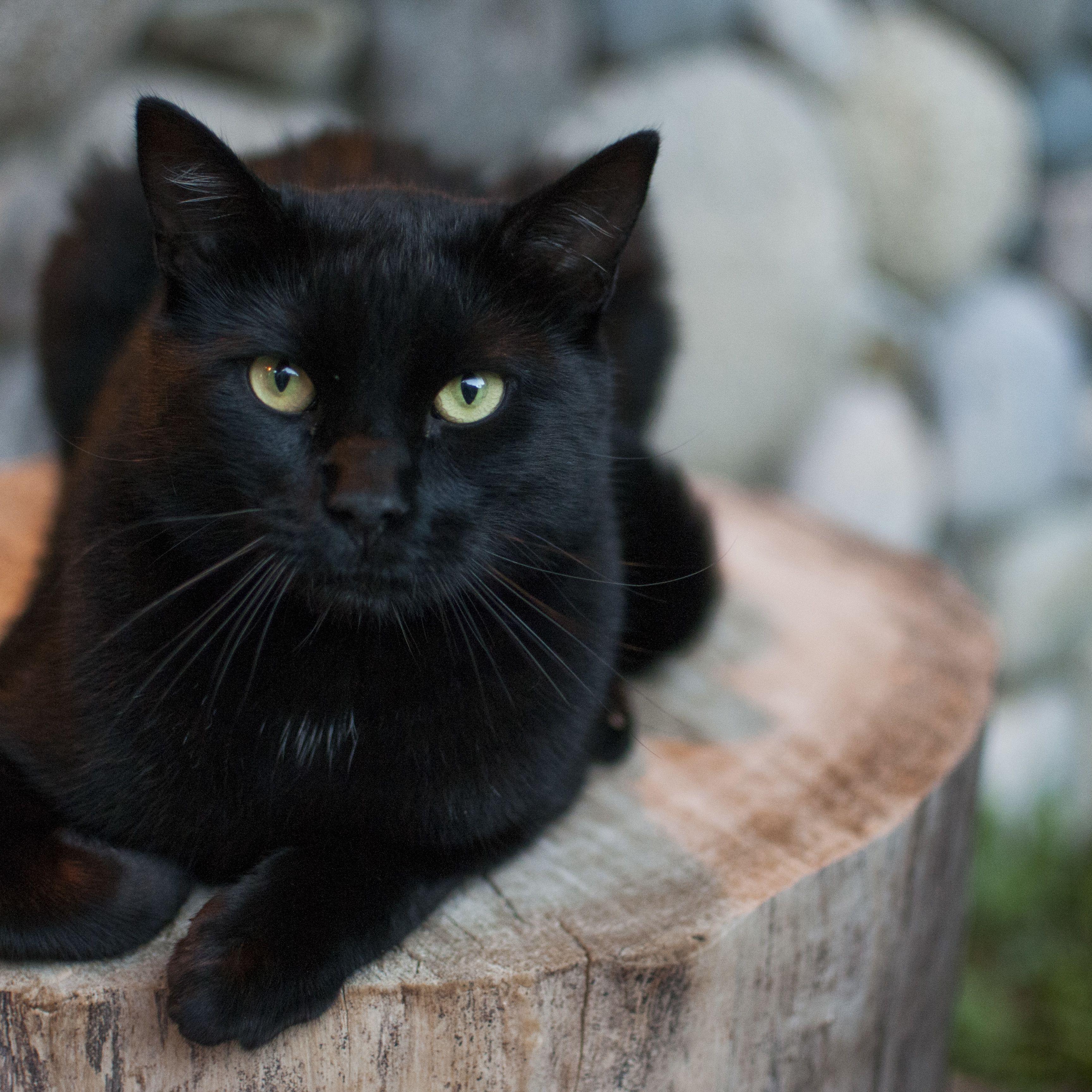 Hình mèo đen đẹp