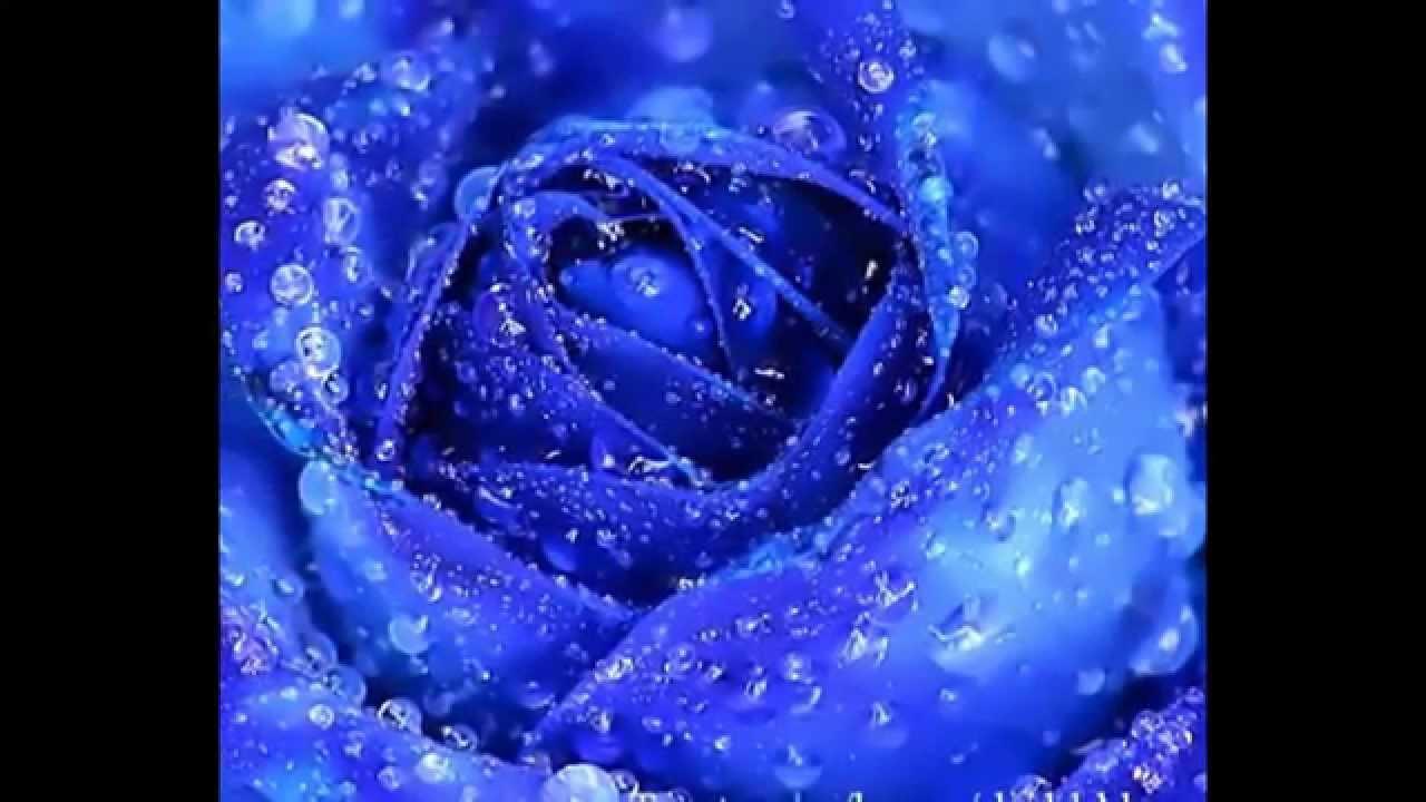 Ảnh chụp hoa hồng xanh nghệ thuật