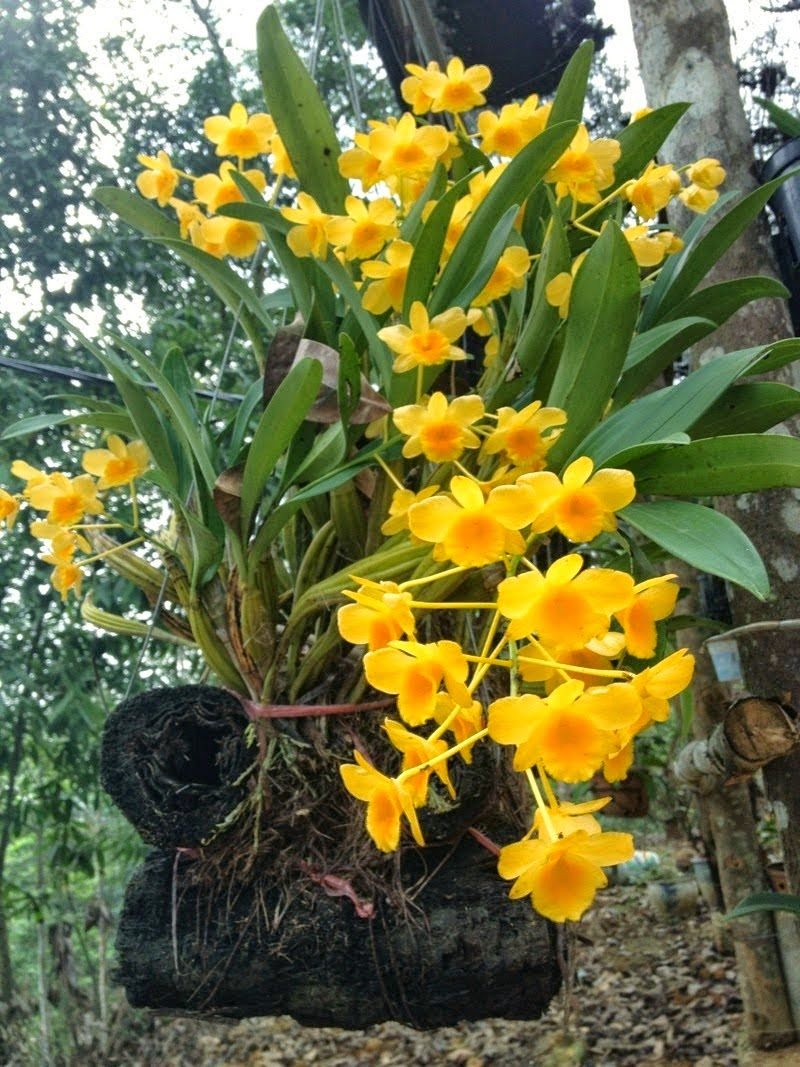 Ảnh hoa lan rừng vàng