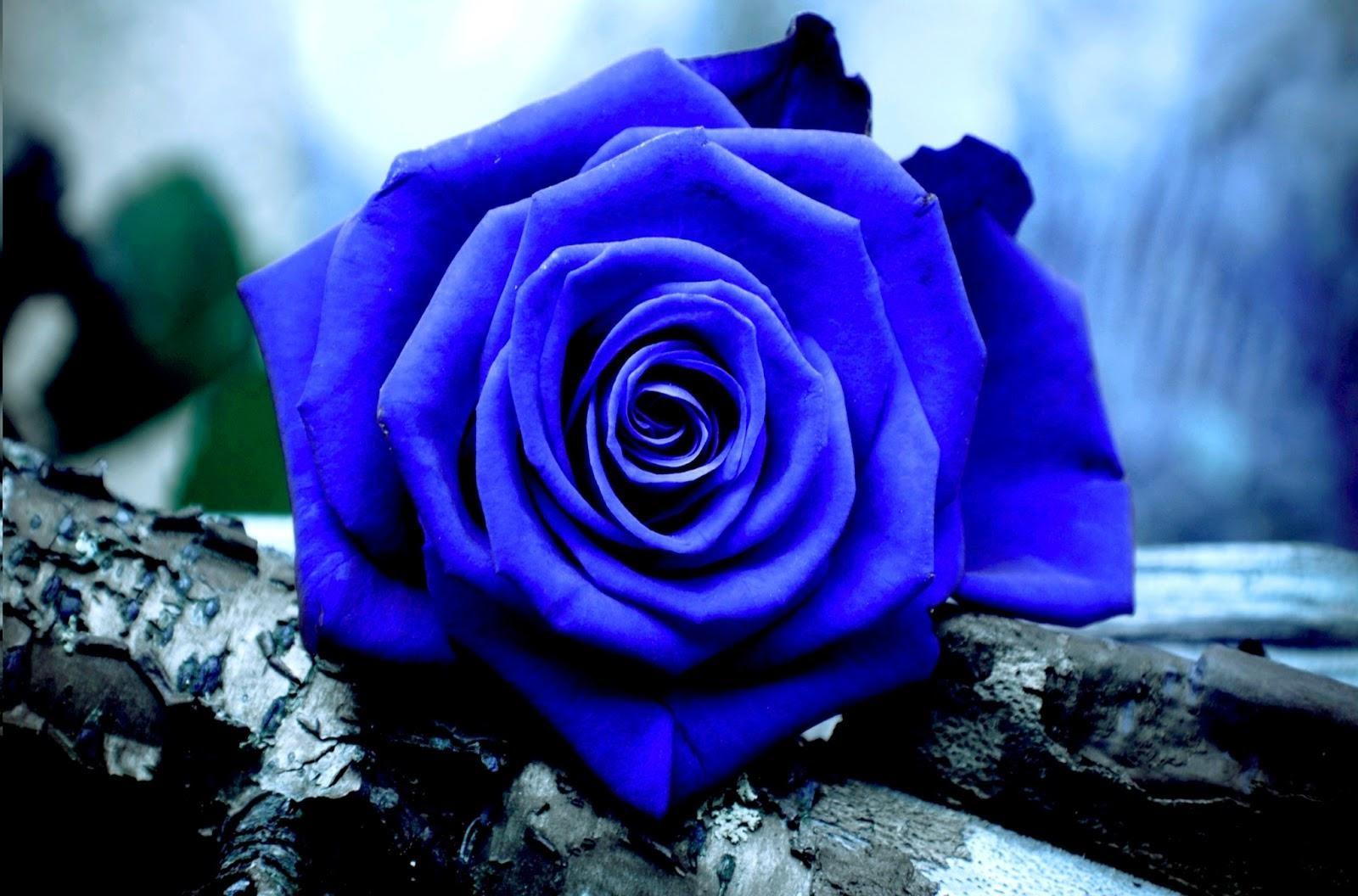 Bông hoa hồng xanh đẹp