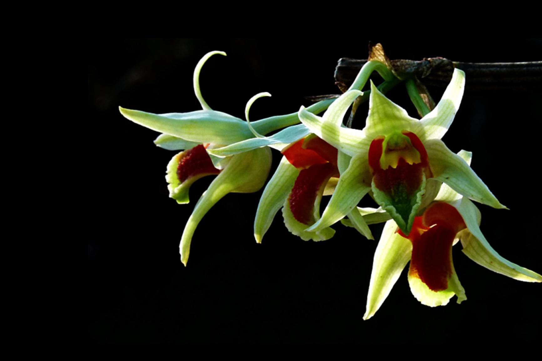 Bông hoa lan rừng 4 bông