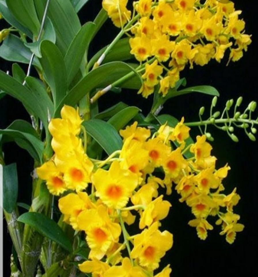 Chậu cây lan rừng vàng đẹp