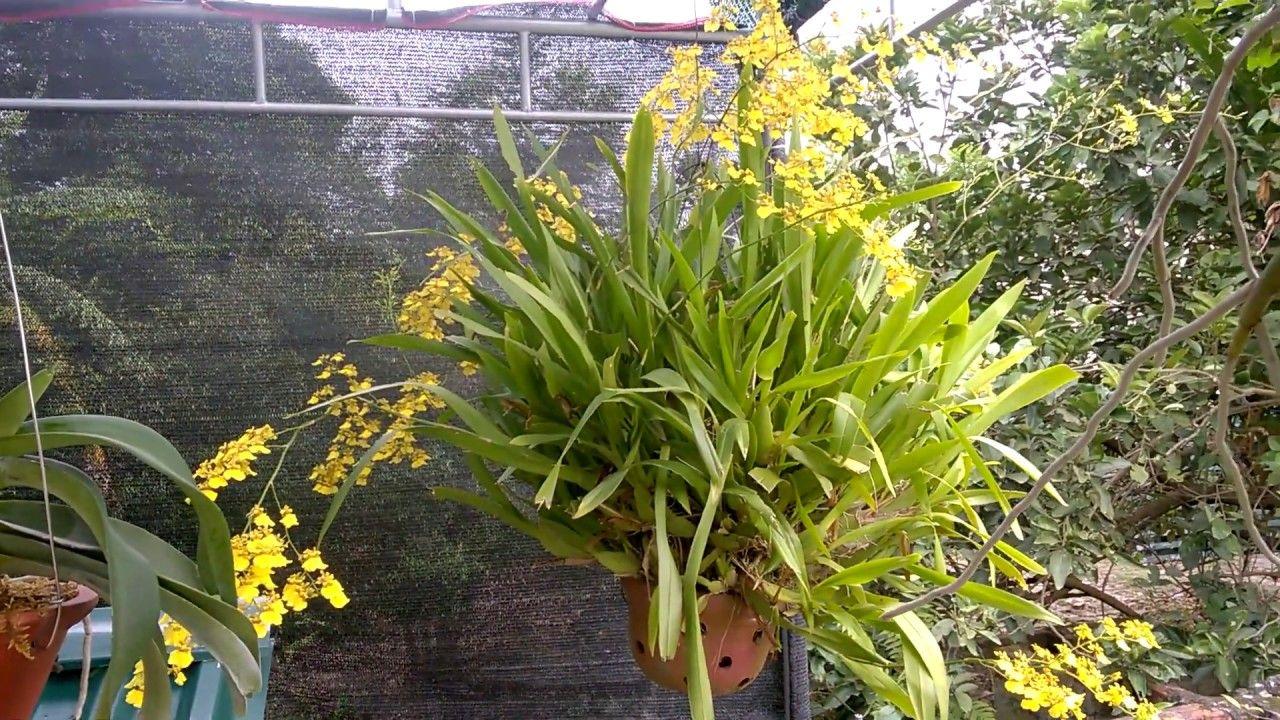Chậu hoa lan rừng vàng cực đẹp