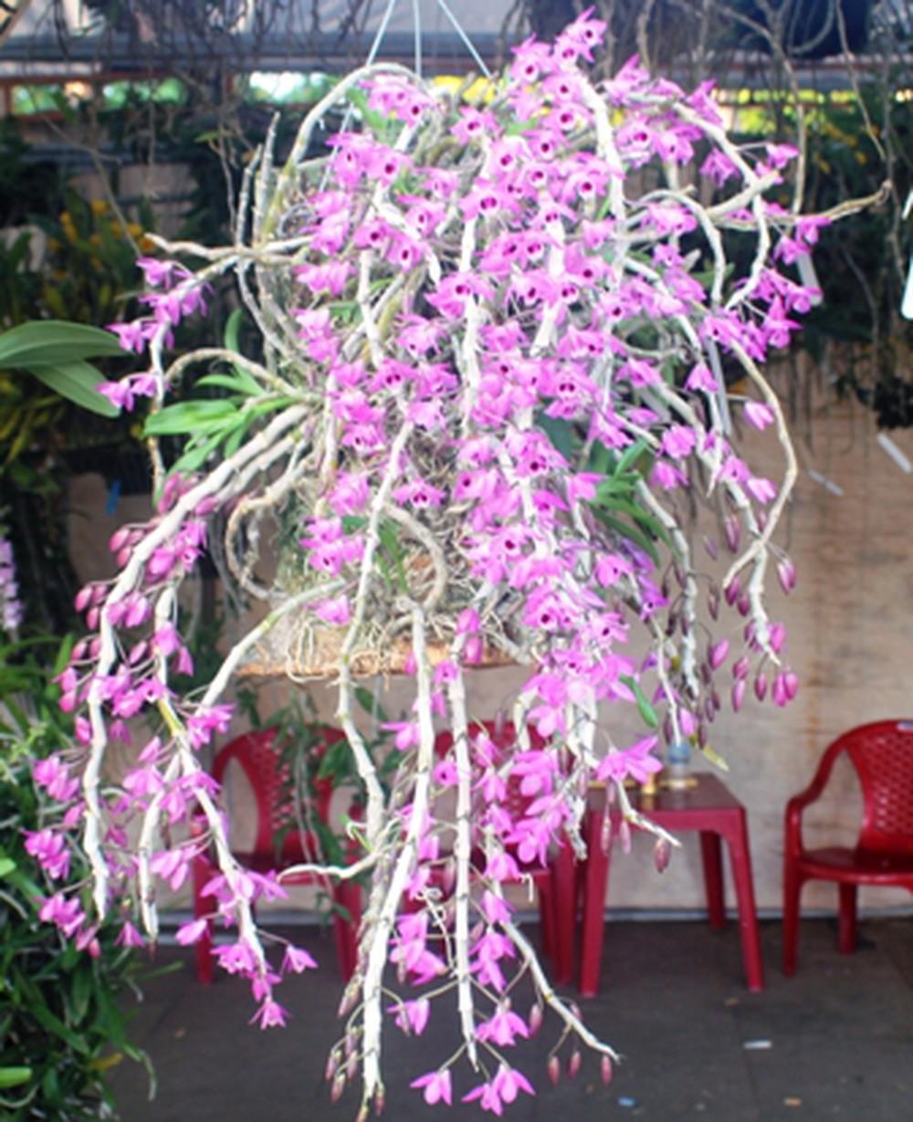 CHùm hoa lan rừng tím đẹp