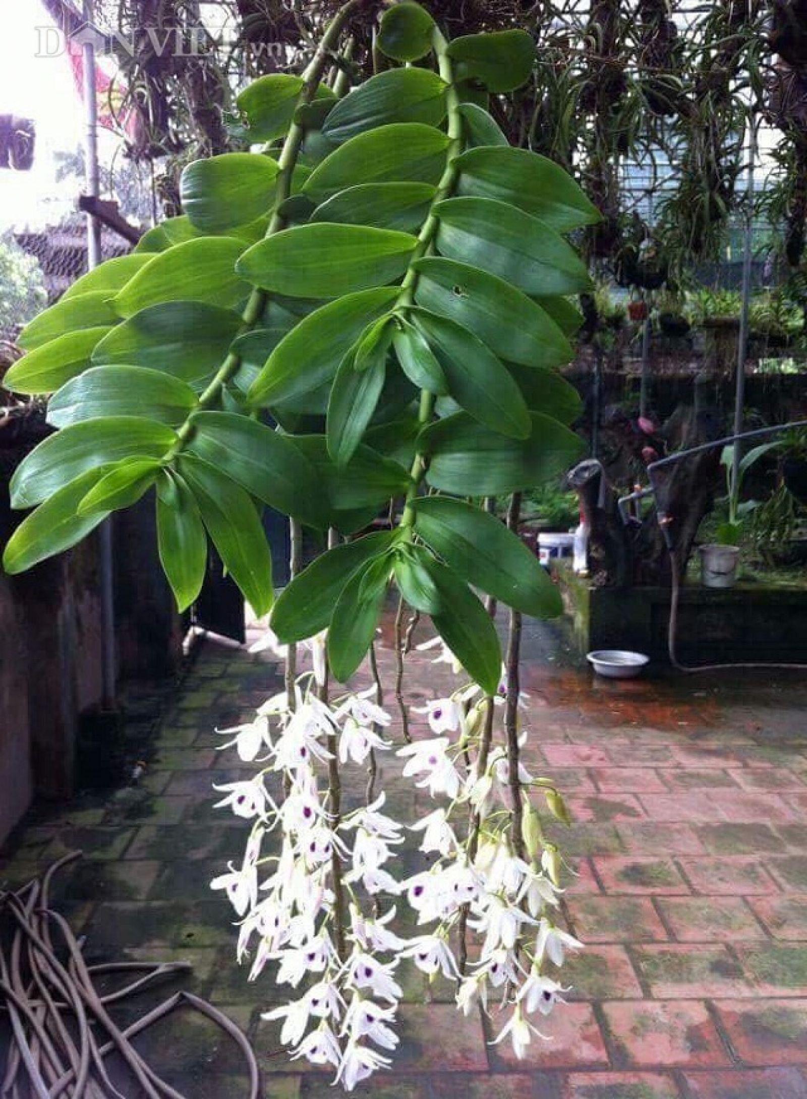 Chùm hoa lan rừng trắng rủ đẹp