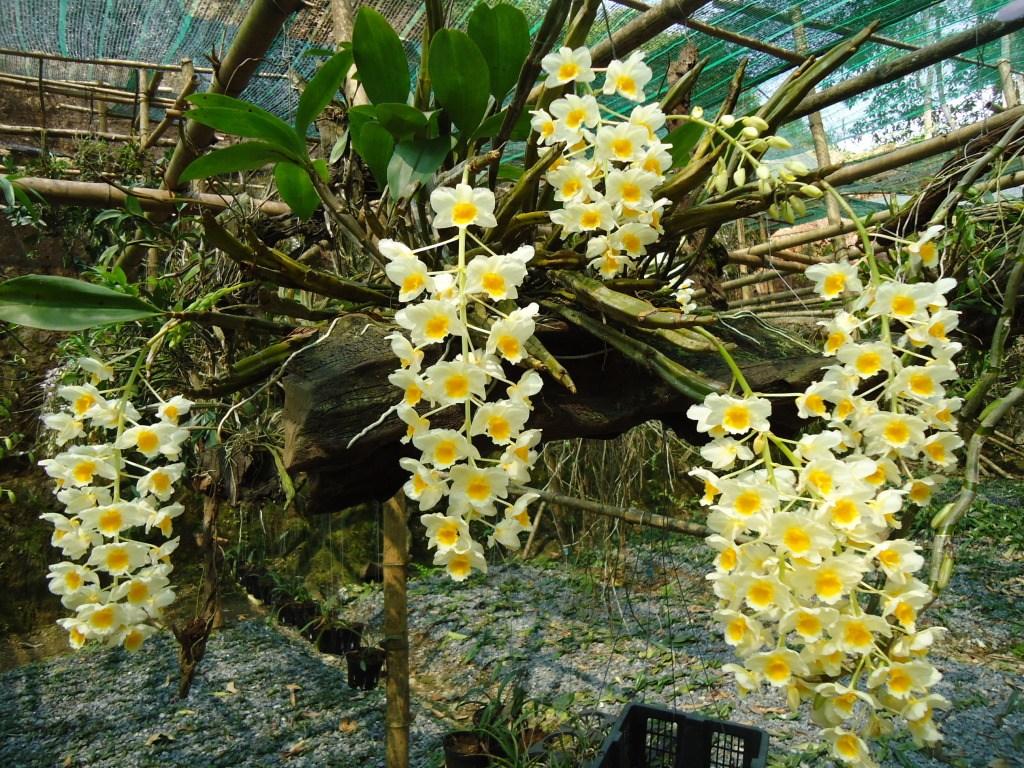 Chùm hoa lan rừng trắng vàng