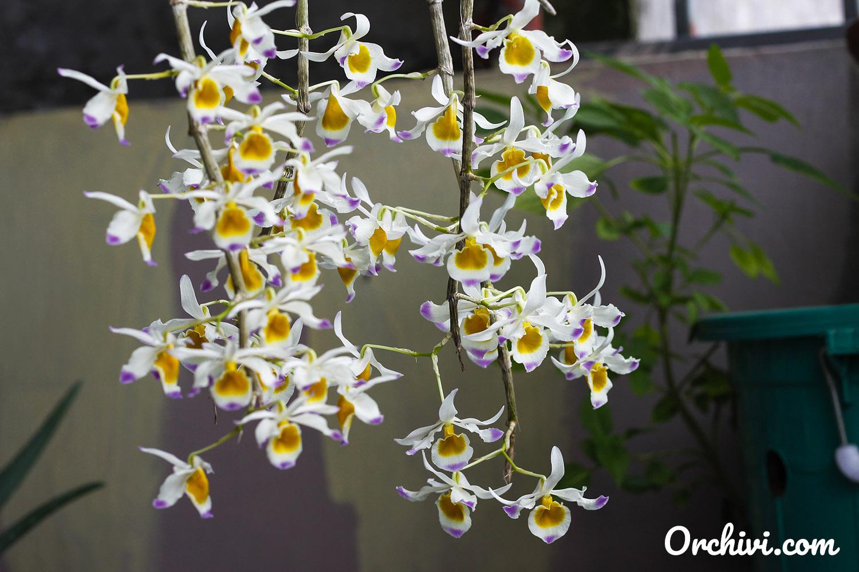 Chuỗi hoa lan rừng trắng đẹp