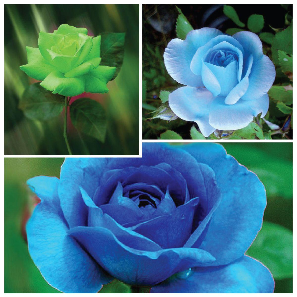 Hình ảnh ba hình bông hoa hồng xanh
