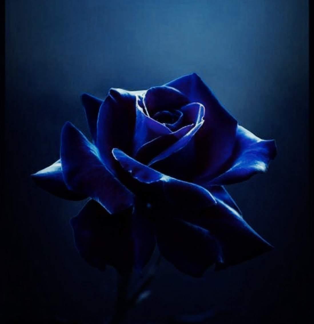 Hình ảnh bông hoa hồng xanh bóng tối xinh đẹp