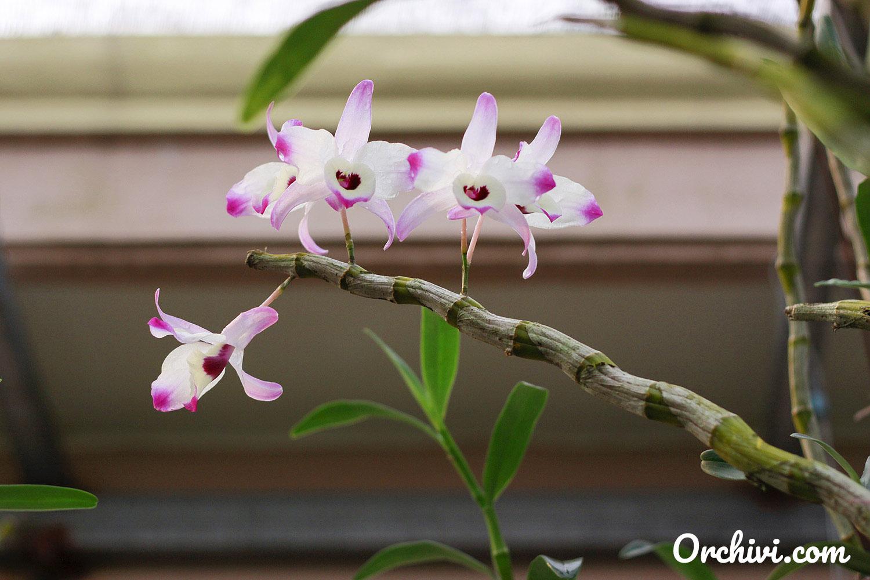 Hình ảnh cành hoa lan trắng tím