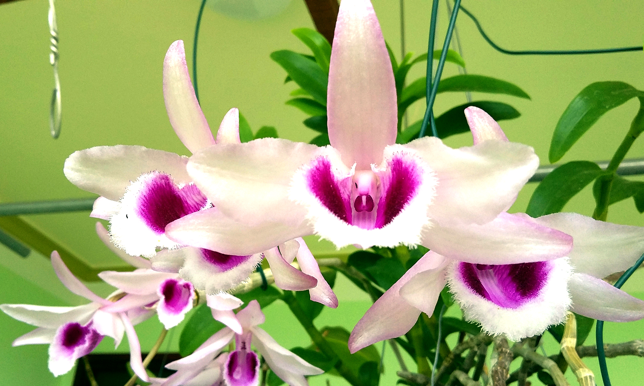 Hình ảnh cây hoa lan trắng tím đẹp