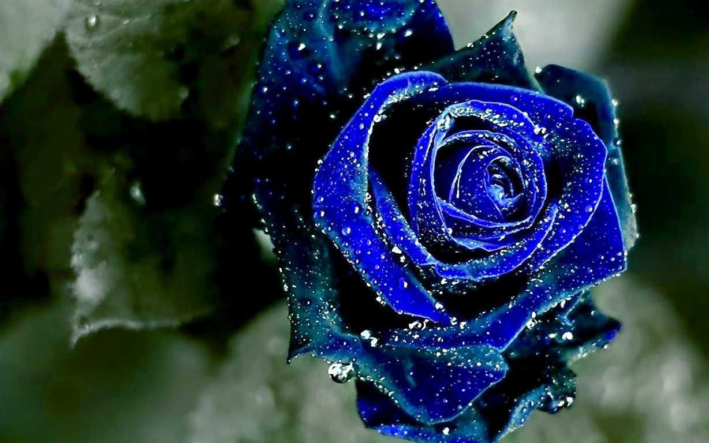Hình ảnh hoa hồng xanh nhiễm sương