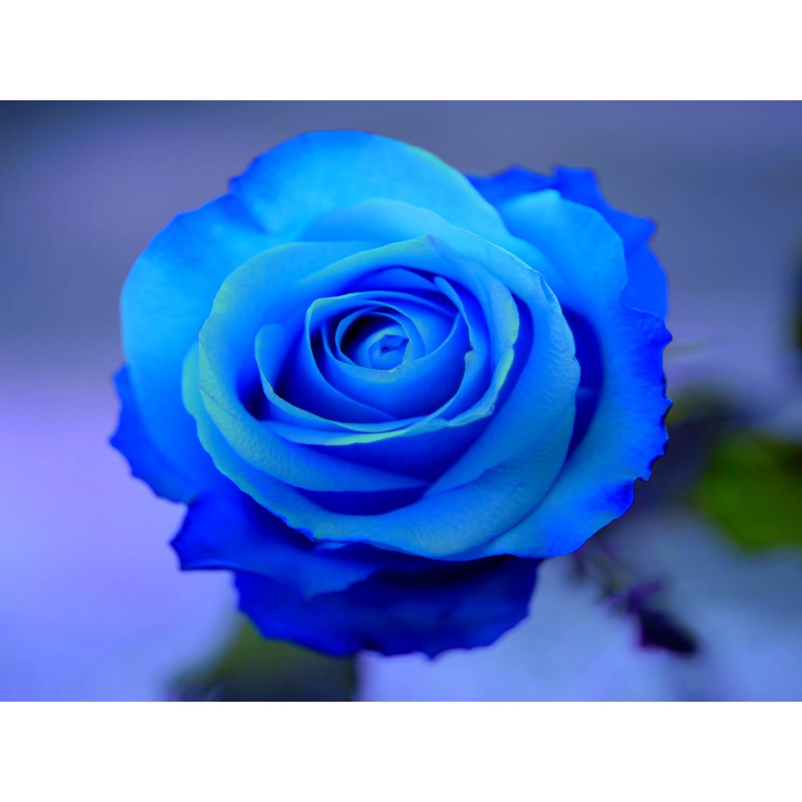Hình ảnh hoa hồng xanh sáng