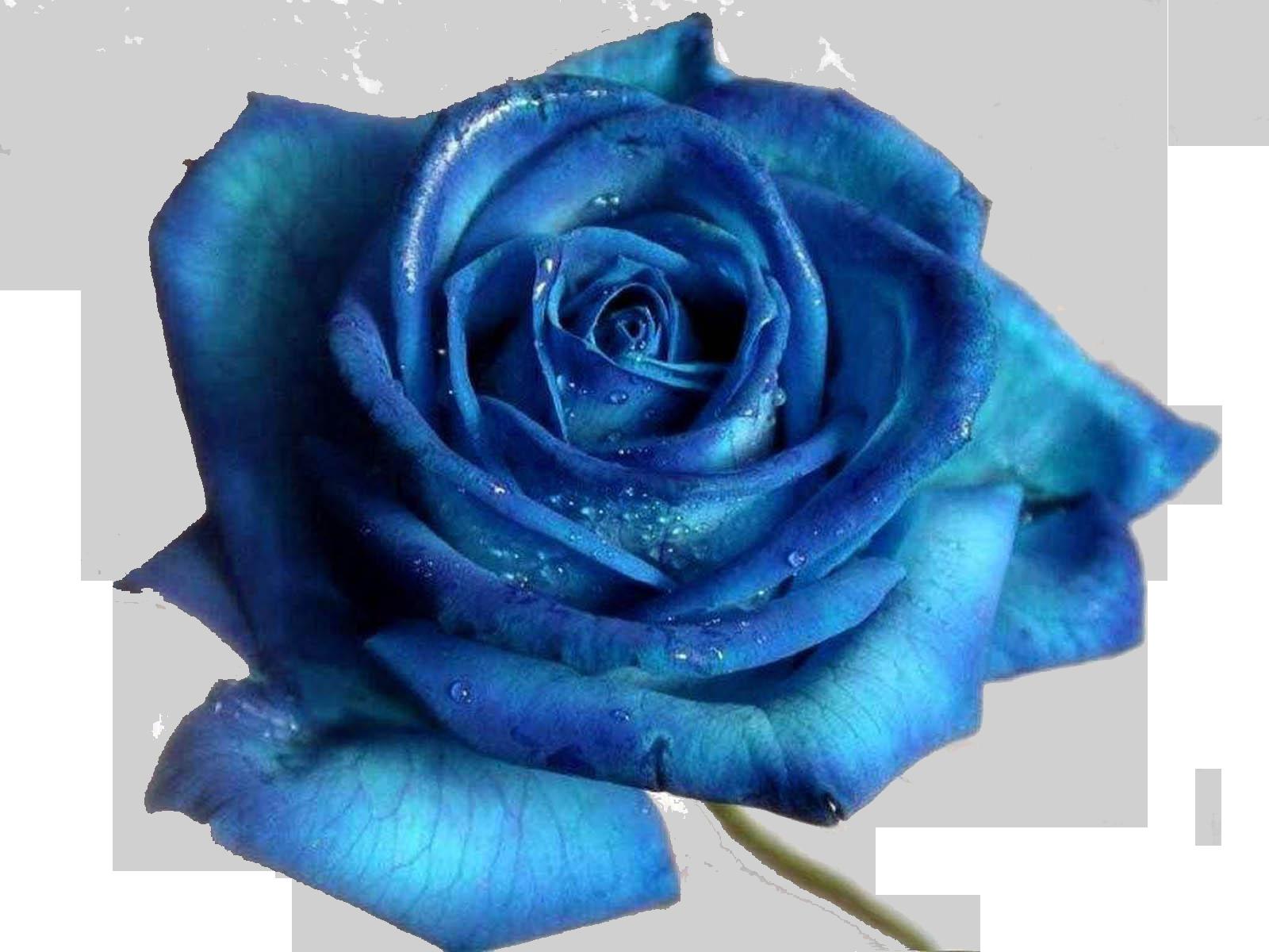 Hình hoa hồng xah lam đẫm nước