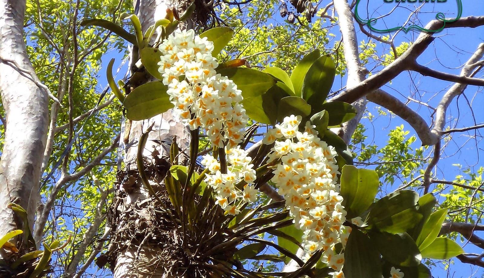 Hoa lan rừng trắng cực đẹp