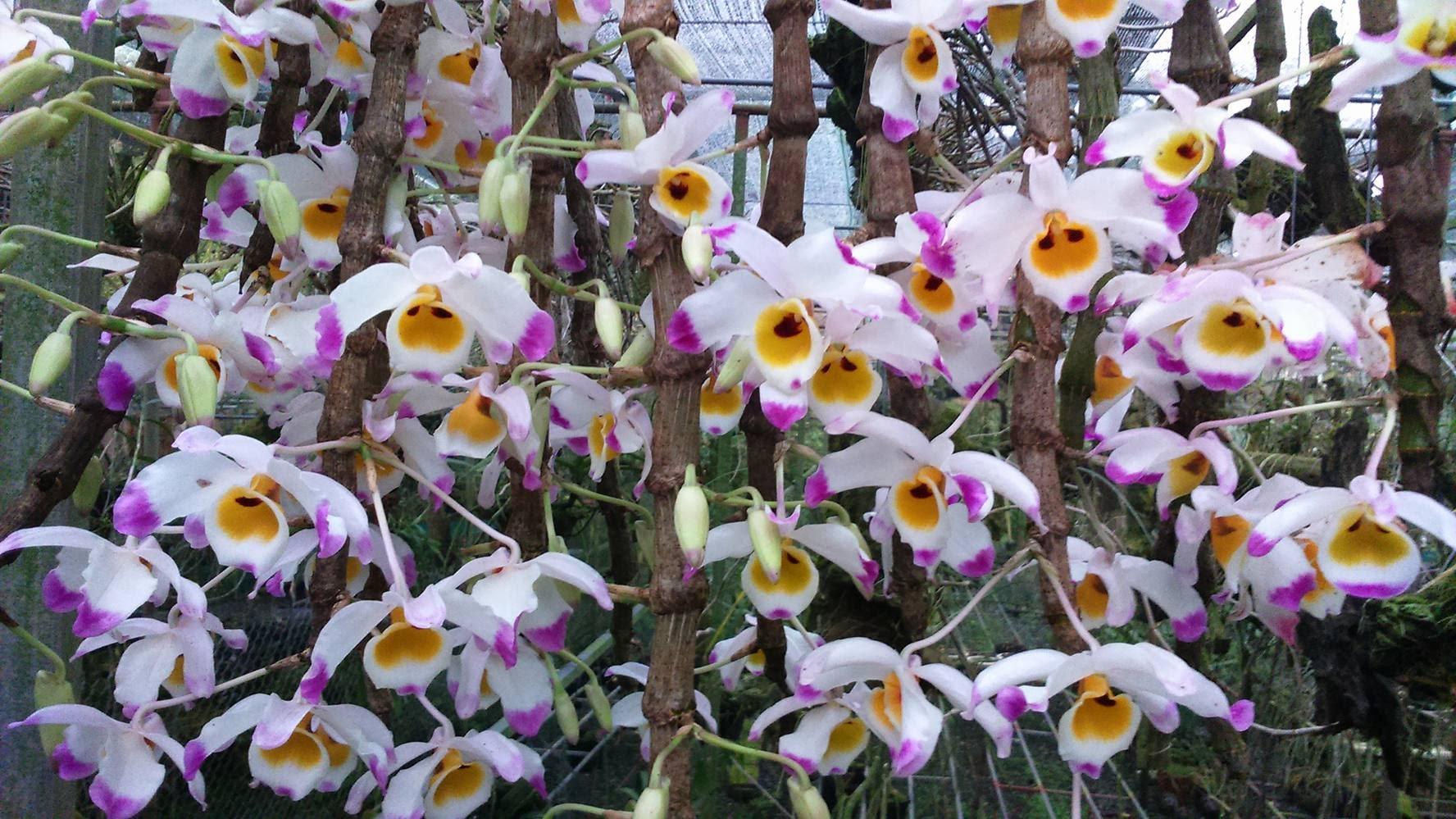 Những bông hoa lan trắng tím đẹp