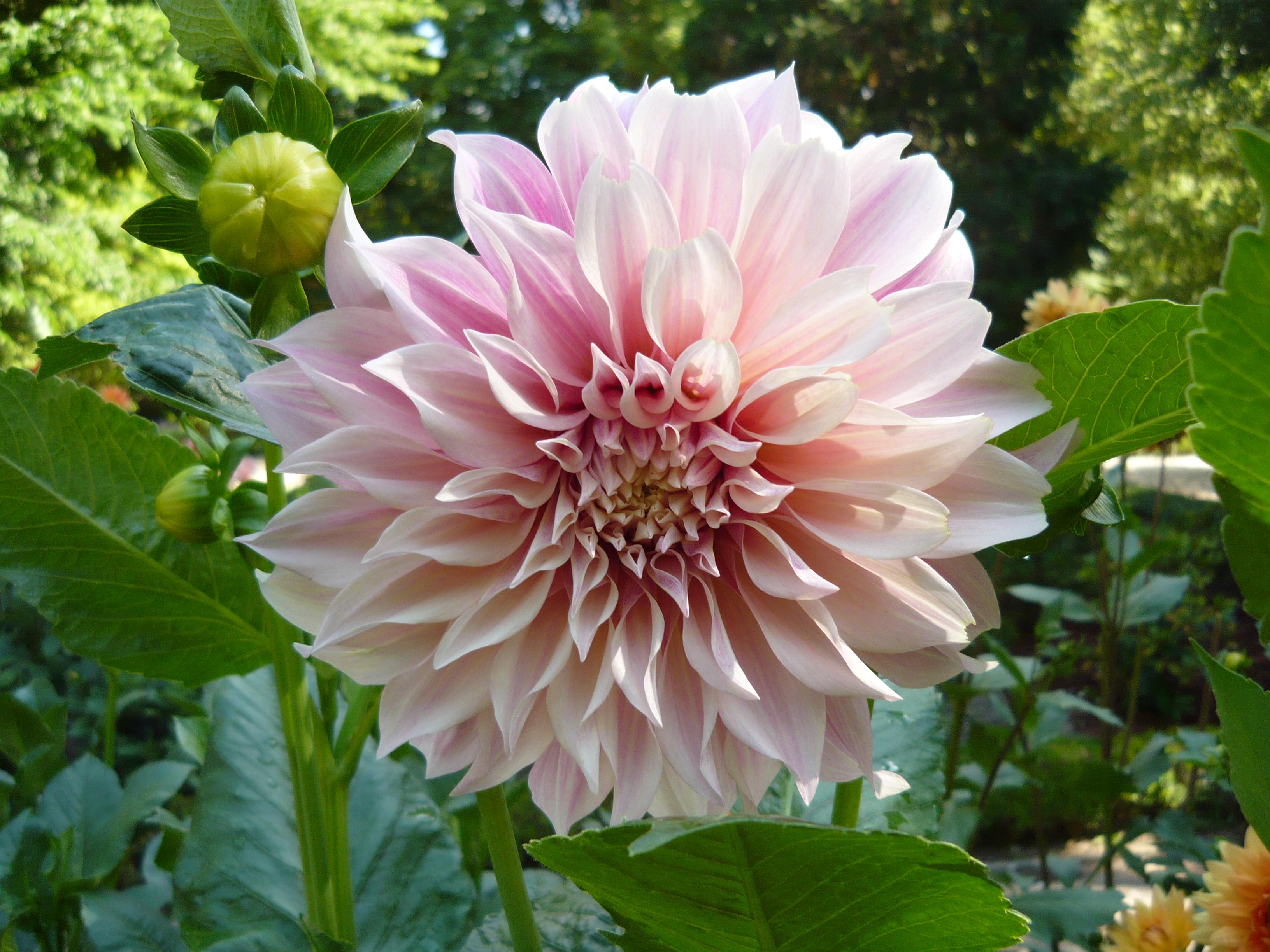 Bông hoa thược dược hồng phấn cực đẹp