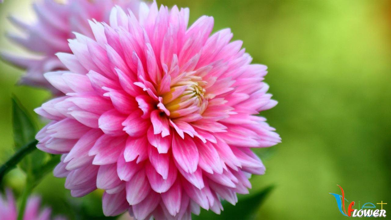 Bông hoa thược dược hồng