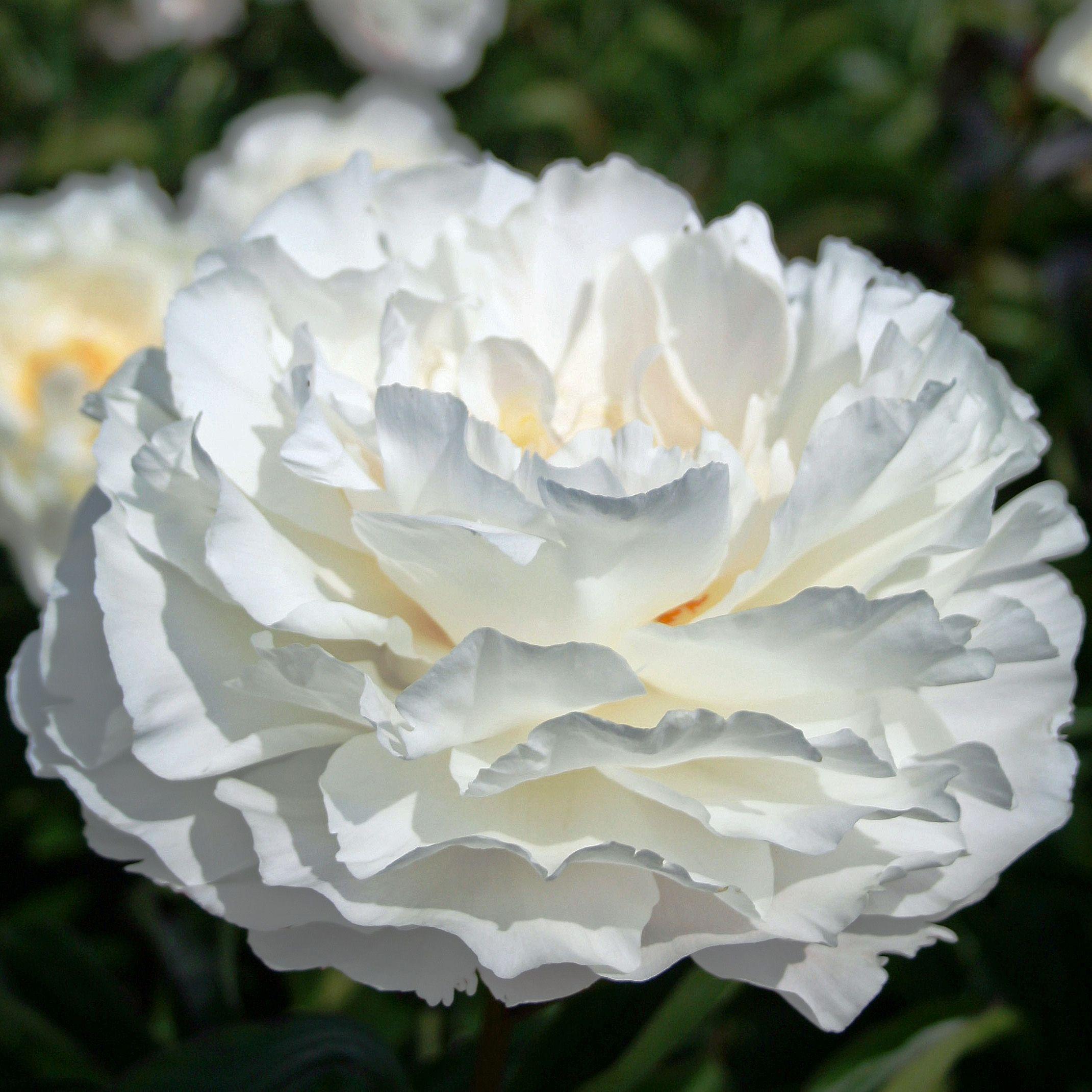 Bông hoa thược dược trắng đẹp