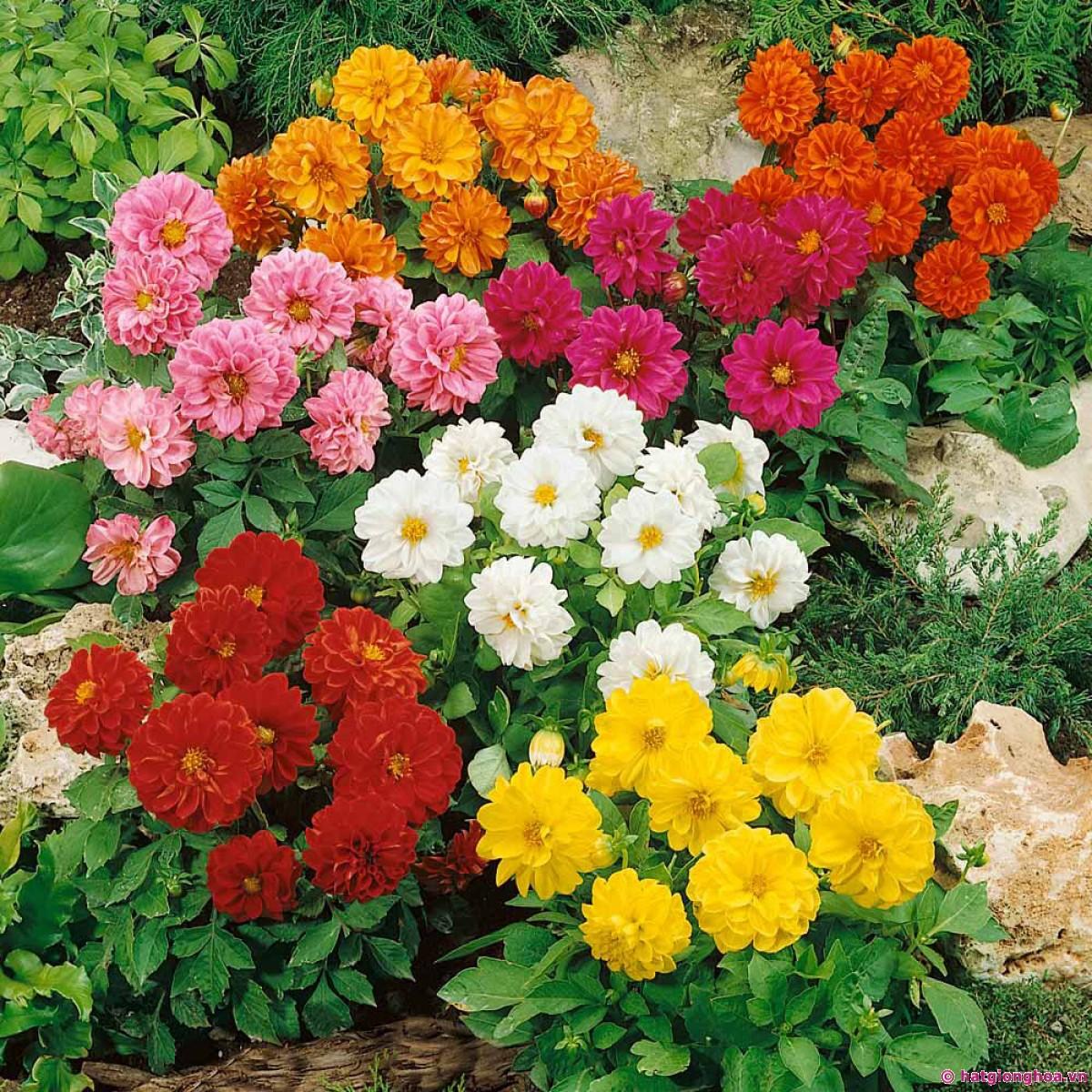 Bông hoa thược dược trong rỏ