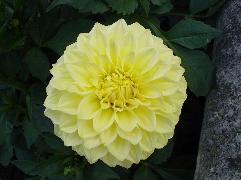 Bông hoa thược dược vàng đẹp