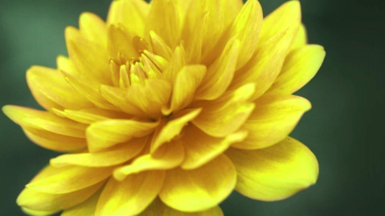 Bông hoa thược dược vàng nhìn gần