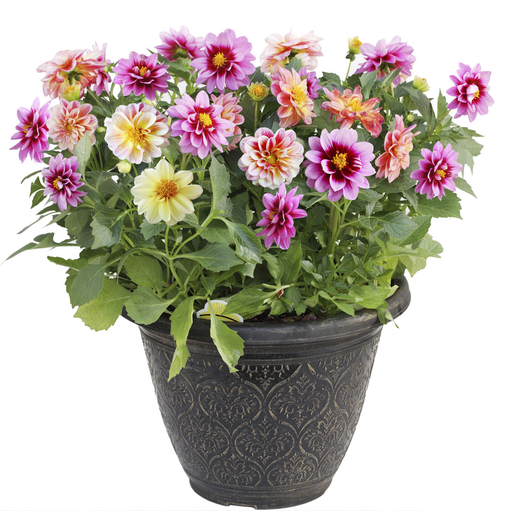 Chậu cây hoa thược dược