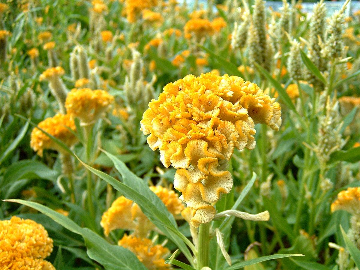 HÌnh ảnh hoa mào gà vàng đẹp