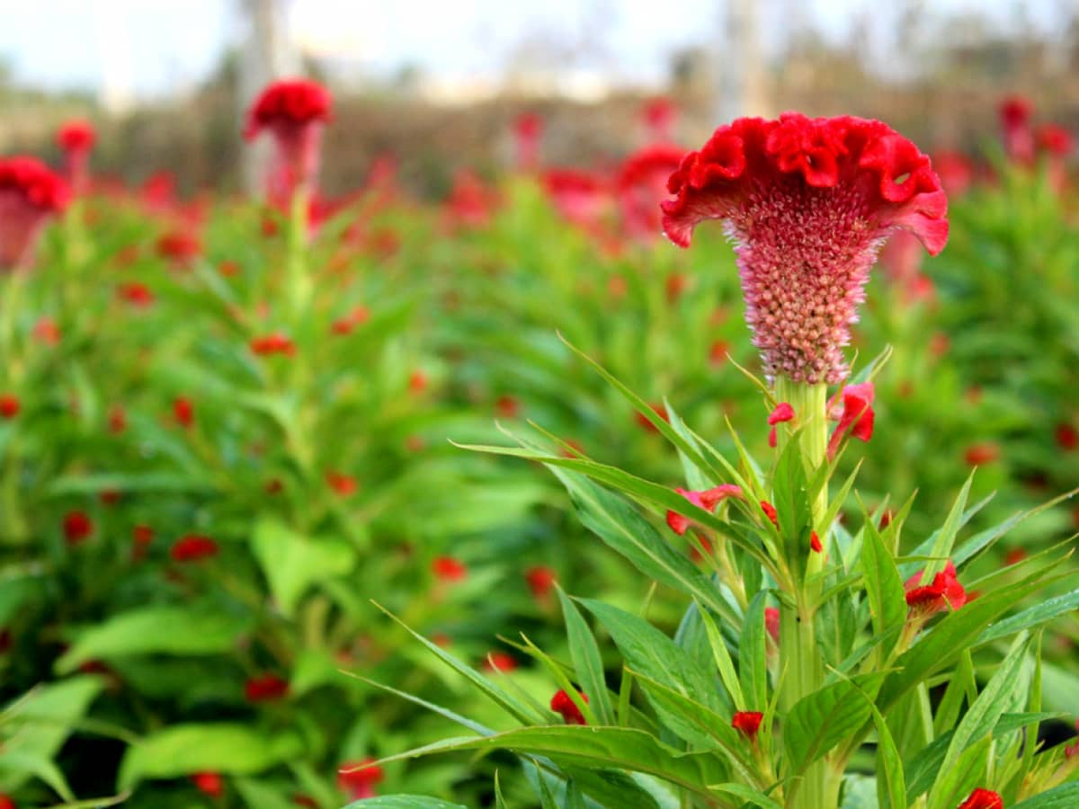 Hoa mào gà đỏ đẹp