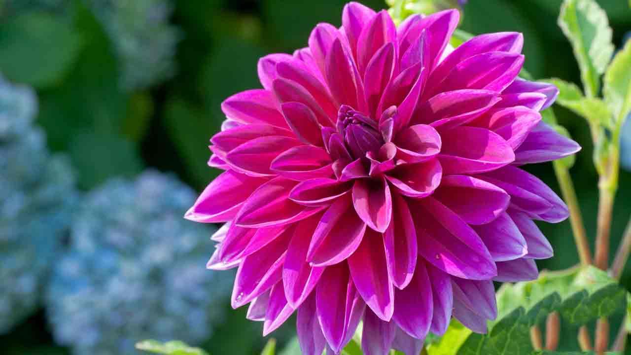 Hoa thược dược tím hồng