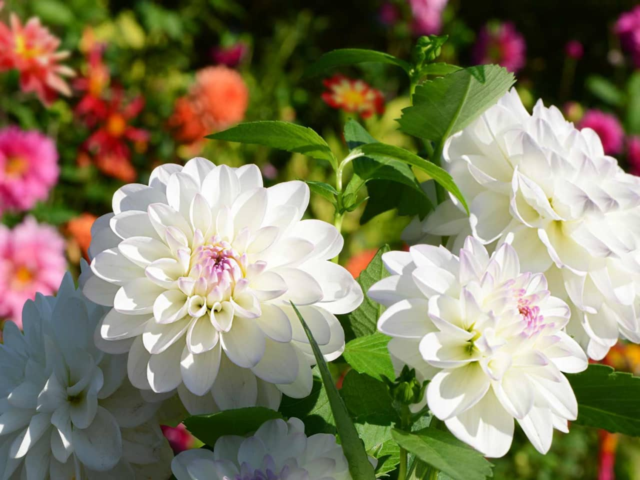 Hoa thược dược trắng đẹp