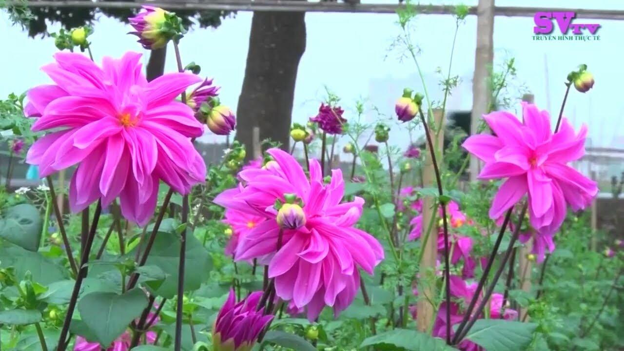 Nhiều bông hoa thược dược tím rất đẹp