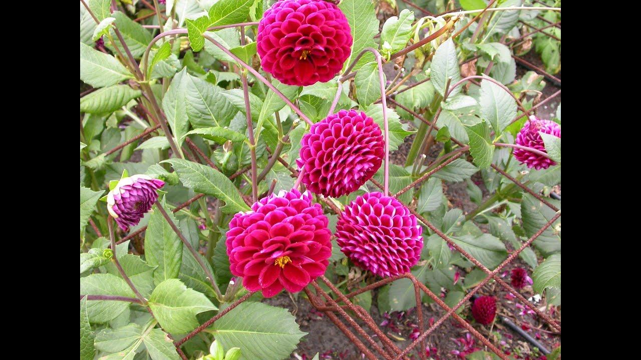 Nhiều bông hoa thược dược tím