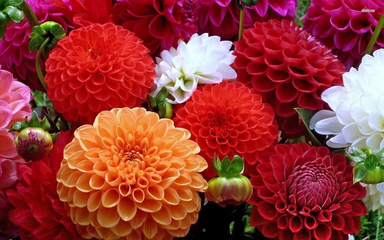 Nhiều bông hoa thược dược xòe tròn rất đẹp