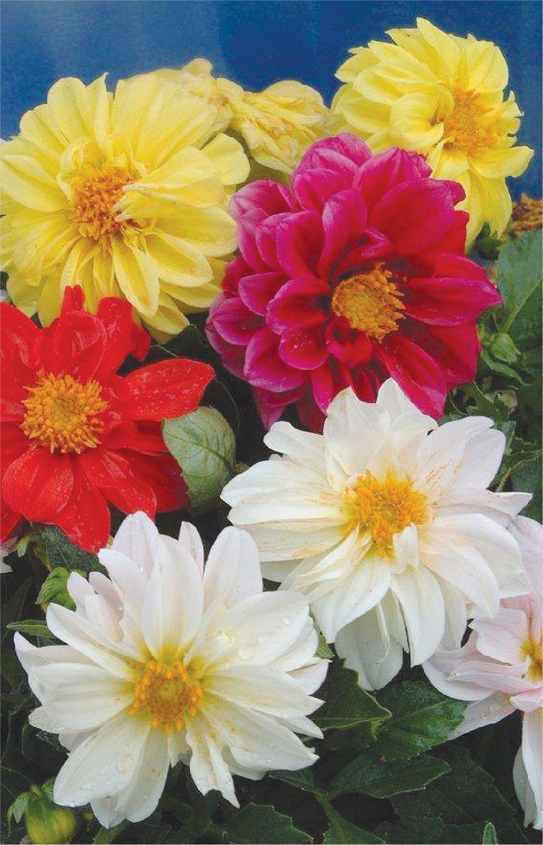 Những bông hoa thược dược cực đẹp
