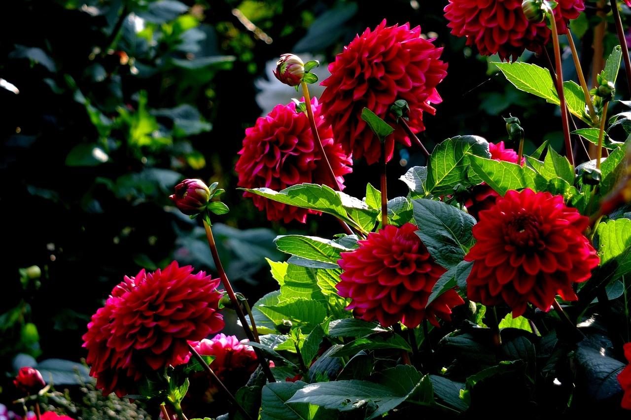 Những bông hoa thược dược đỏ rực