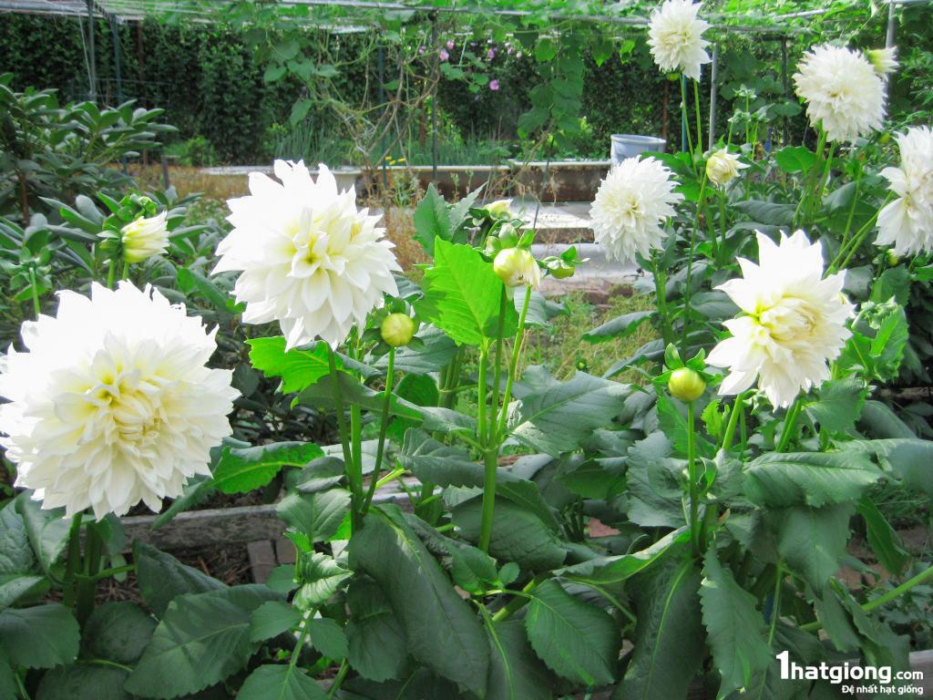 Những cây hoa thược dược trắng
