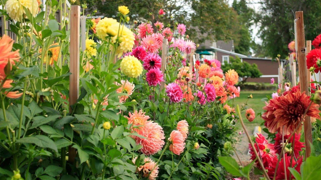 Vườn hoa thược dược cực xinh đẹp