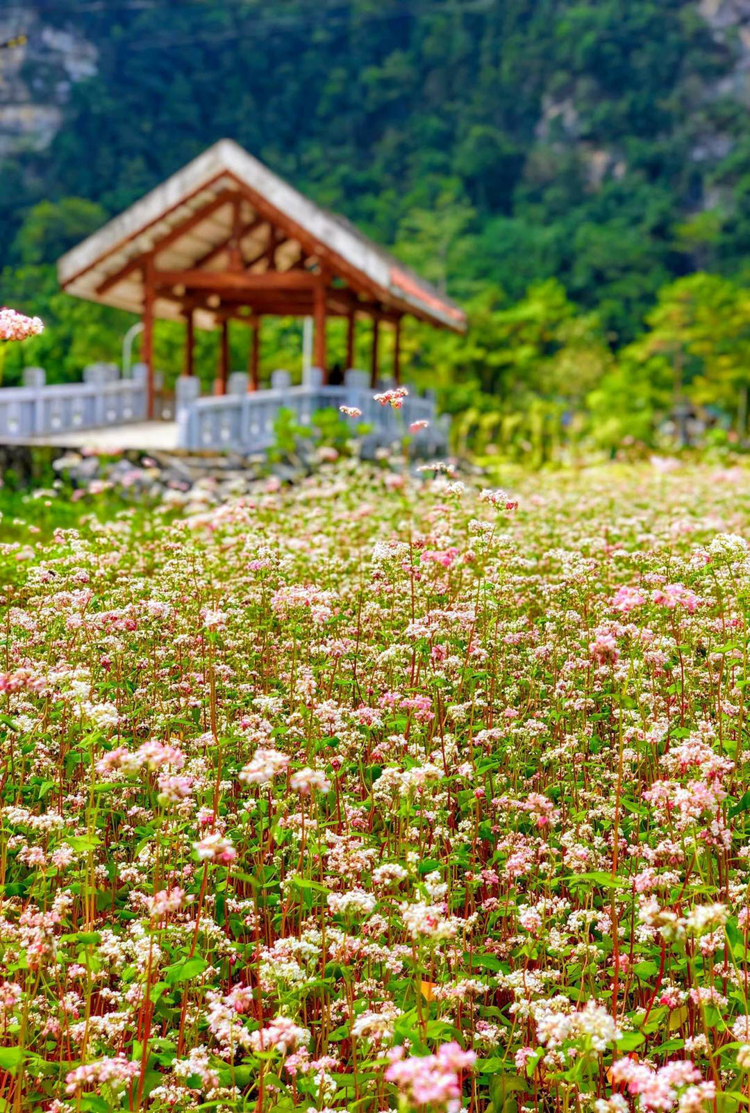 Hình nền phong cảnh hoa tam giác mạch