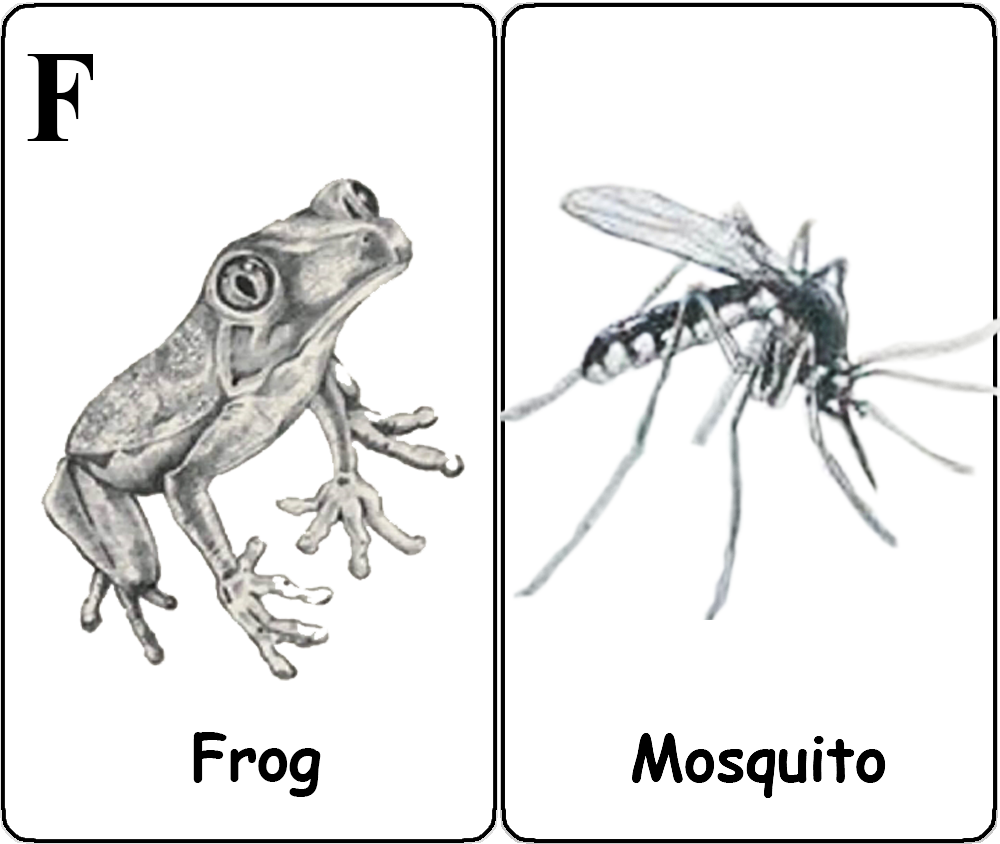 Frog - Mosquito