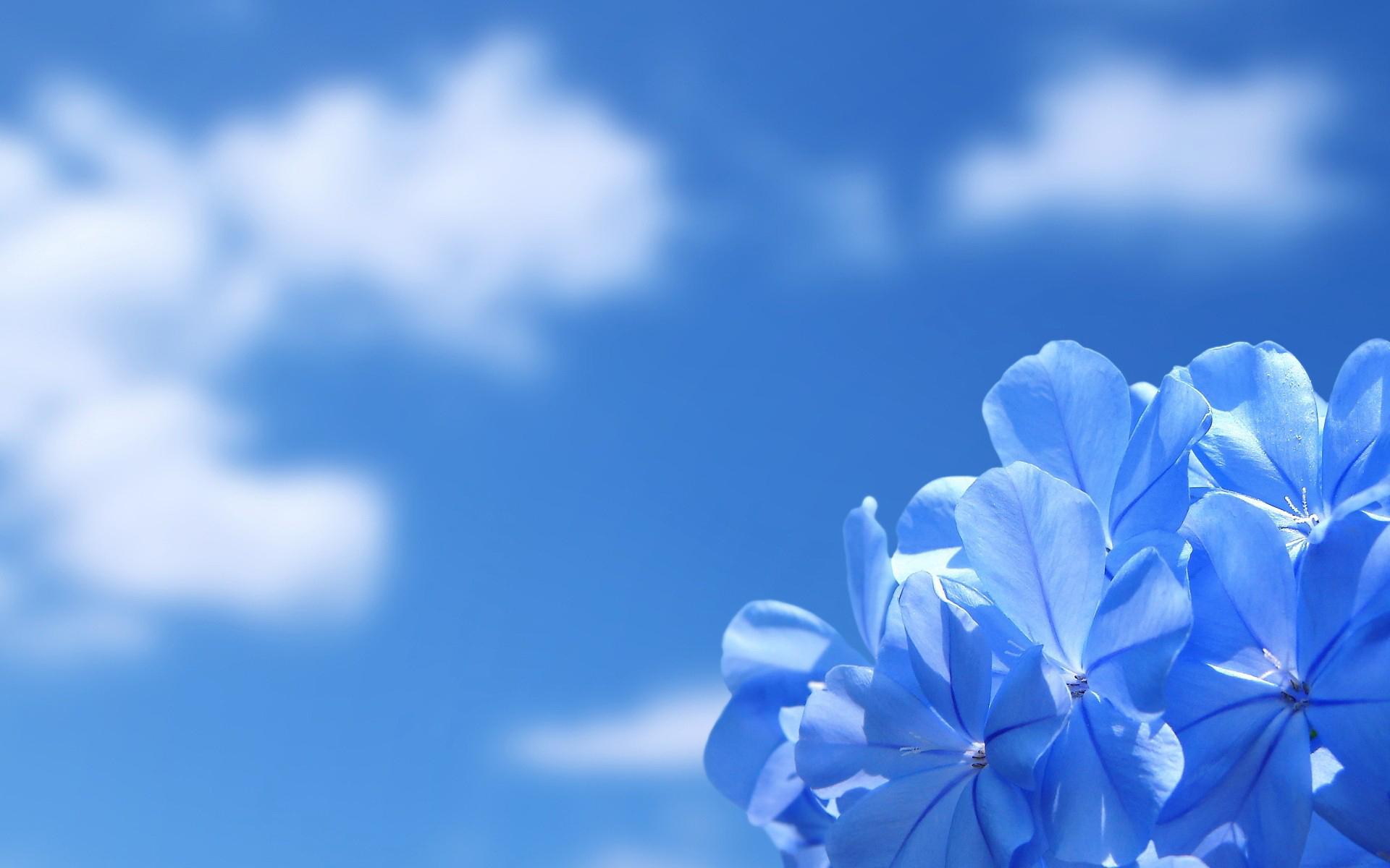 Hình nền hoa xanh dương