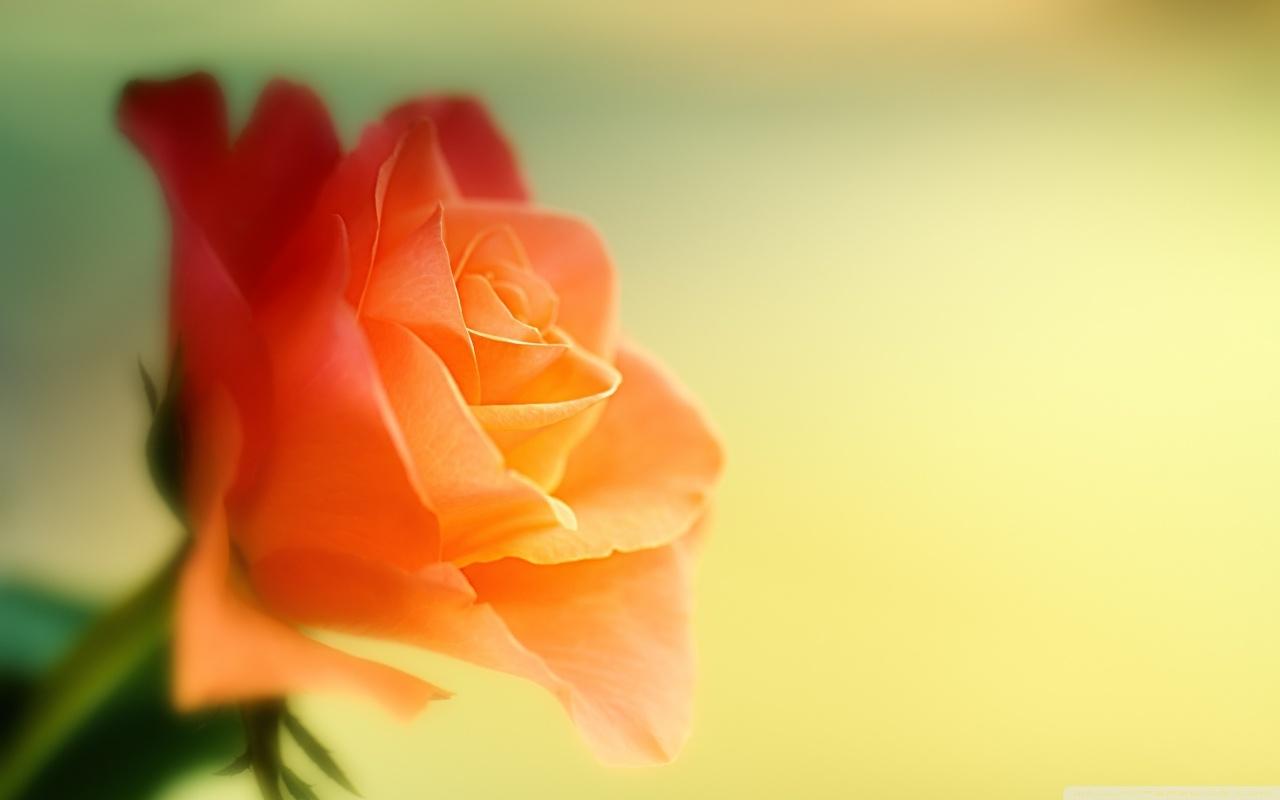 Background hoa hồng cam