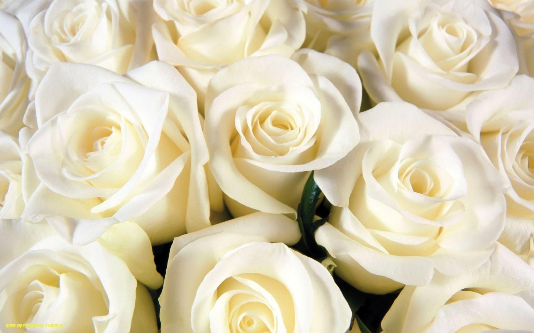 Background hoa hồng trắng