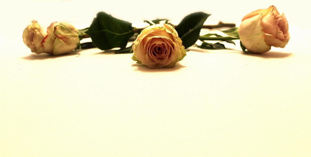 Background hoa hồng vàng