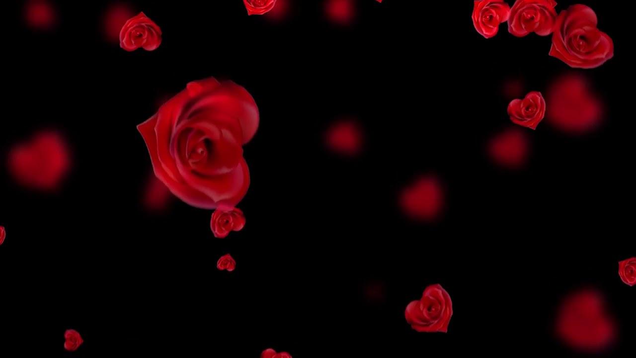 Background video hoa hồng